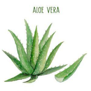 Catálogo para comprar por Internet comprar hojas de aloe vera natural