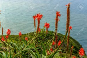 Recopilación de cuando sale la flor del aloe vera para comprar on-line