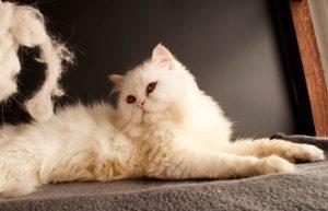 Recopilación de caida excesiva de pelo en gatos para comprar on-line – Los 20 más vendidos